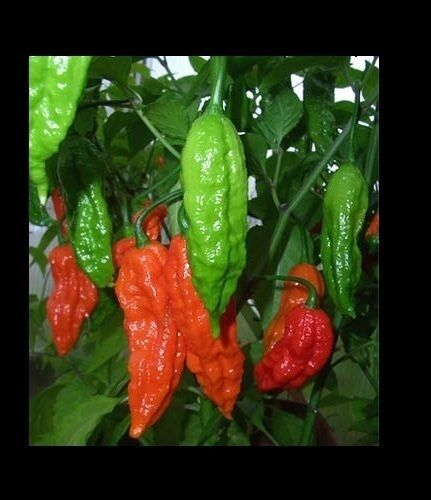 1 Kilogram Red Ghost pepper Bhut Jolokia Powder chili hot spice 2.2 Lbs Wings