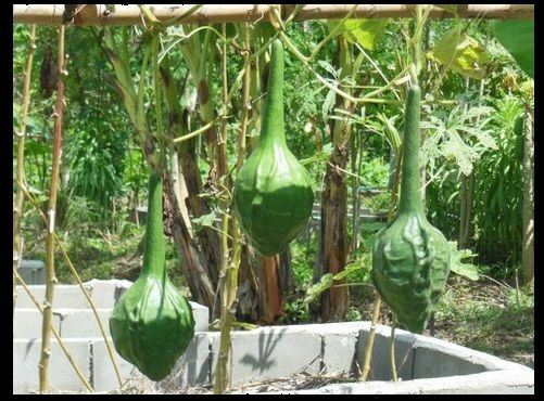 10 Seeds Caveman's Club Gourd Fresh heirloom beautiful unique Arts & Crafts Big