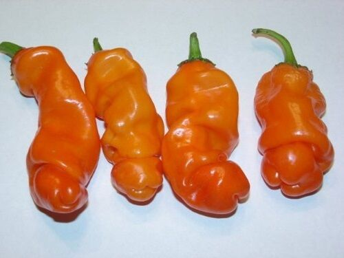 10 Seeds Peter Pepper ORANGE Heirloom Hot XXX chili Hilarious Rare unique Gift!