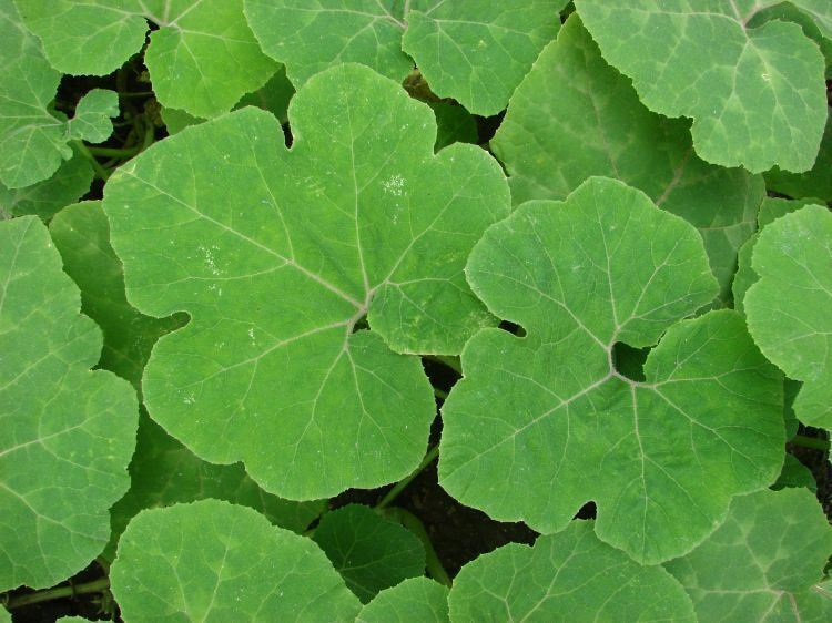 10 Seeds Shark Fin Melon Chilacayote Fig Leaved Malabar Gourd Heirloom Very Rare