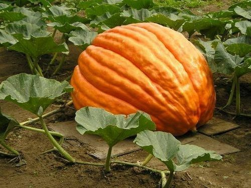 10 seeds Big Max Giant Pumpkin Heirloom Huge prizewinners weigh 100+ pounds!