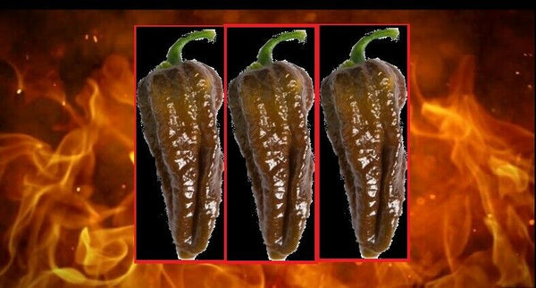 10 seeds Chocolate Habalokia Hot Pepper Ghost Pepper x Habanero 800,000 SHU RARE