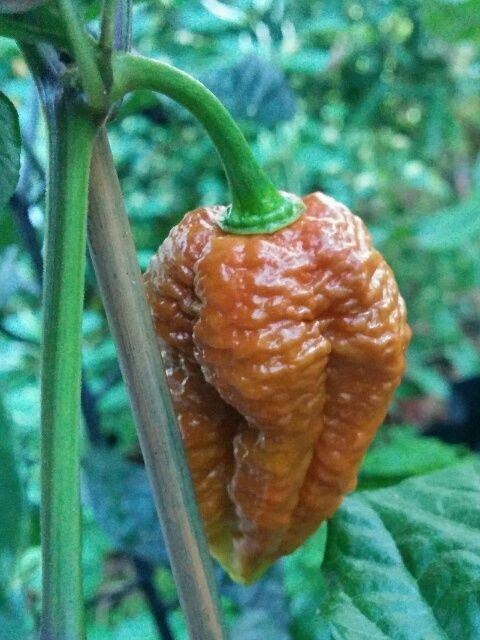 100 Chocolate Brown Bhutlah Seeds Fresh World Record Bhut Jolokia x Douglah HOT!