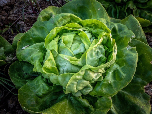 100 Seeds Buttercrunch Leaf LETTUCE Heirloom Butterhead tender Fall Spring Iron