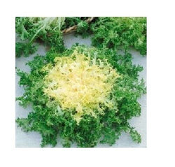 100 Seeds Green Curled Rufflec ENDIVE heirloom delicious tender vigorous leaves