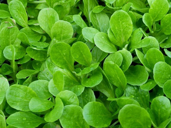 100 seeds Dutch Corn Salad Lambs lettuce Mache salad Fresh Sharp Flavor Heirloom