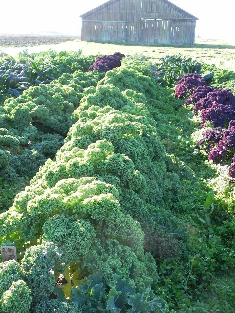 1000+ KALE VATES BLUE CURLED Seeds (Dwarf Blue Scotch) Healthy Greens Garden