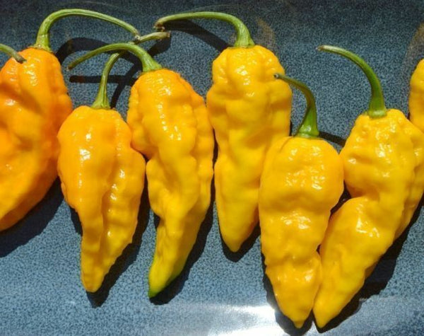 1000 Yellow Ghost Pepper Bhut Jolokia seeds Chili Heirloom RARE EXTREMELY HOT!