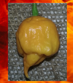 1000 seeds YELLOW CAROLINA REAPER Hottest Pepper on Earth Guinness World Record!
