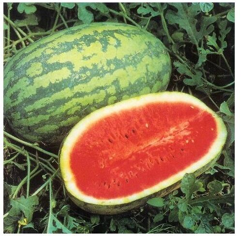 15 Seeds JUBILEE Watermelon Heirloom Red good shipper vegetable Big 30 pounds
