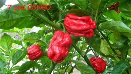 15 Seeds Trinidad SR 7 Pod CONGO Gigantic Red Extreme hot pepper RARE Big Large