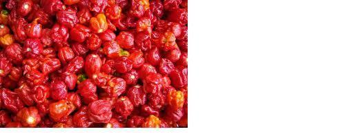 15 Seeds Trinidad Scorpion BUTCH T Worlds Hottest! WHOLESALE PRICE RARE Pepper
