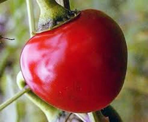 15 seeds CUMRA Cherry red hot pepper Heirloom Large abundant prolific very RARE