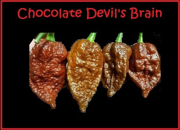 15 seeds Chocolate Devil's Brain super RARE! Extreme Hot Pepper Great for Powder