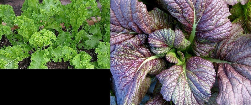 150+ seeds Each: Southern Giant Curled & Red Giant Mustard Heirloom Delicious