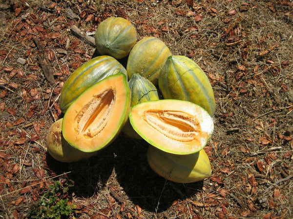 20 Seeds Bidwell Casaba Melon Cantaloupe Large HUGE Heirloom Massive 16 lbs!