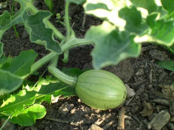 20 Seeds Charleston Grey red Watermelon Heirloom beautiful pale green skin melon