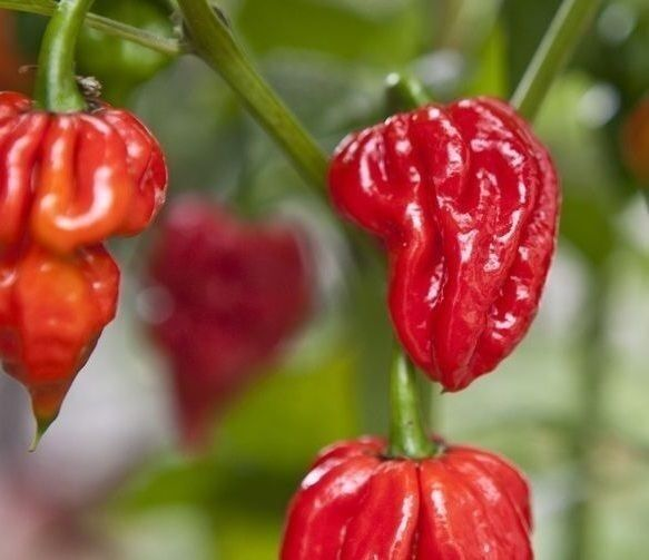 20 seeds Naga Viper Extremely Hot chili pepper rare heirloom World record Holder