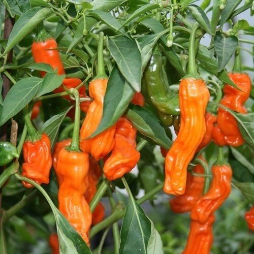 25 Seeds Peter Pepper ORANGE Heirloom Hot XXX chili Hilarious Rare unique Gift!