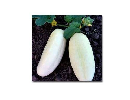 25 WHITE WONDER CUCUMBER Seeds Rare Heirloom healthy garden vegetable