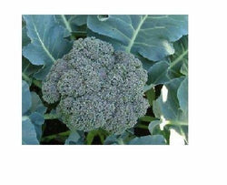 250 Seeds Waltham Broccoli 29 Fresh great for farmers markets Heirloom
