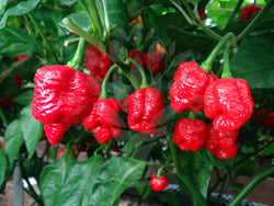 50 Seeds Trinidad Moruga Scorpion Worlds Hottest! World Record! Fresh 2020 !Hot!