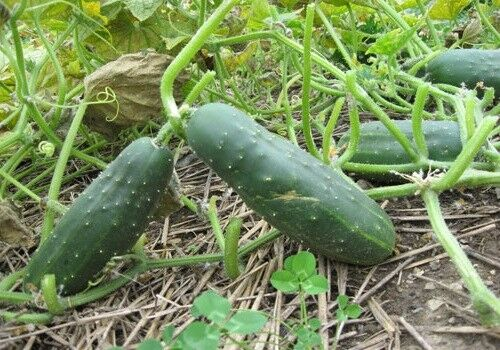"3 (6-9) Live 3 - 6"" inch Seedlings Straight Eight 8 Cucumber Heirloom Healthy"