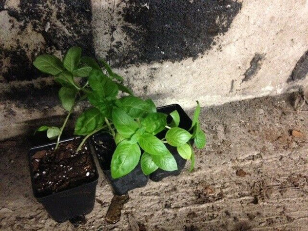 "3 (6) Live 3 - 5"" inch Seedlings Cinnamon Basil Culinary Scent Herb Spicy Fresh"