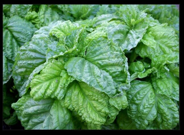 "3 (6) Live 3 - 5"" inch Seedlings Lettuce Leaf Basil Huge Leaves! Aromatic Fresh"