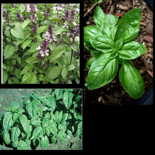 "3 (6) Live 3 - 6"" inch Seedlings 2 Each: Cinnamon Sweet Large Leaf Italian Basil"