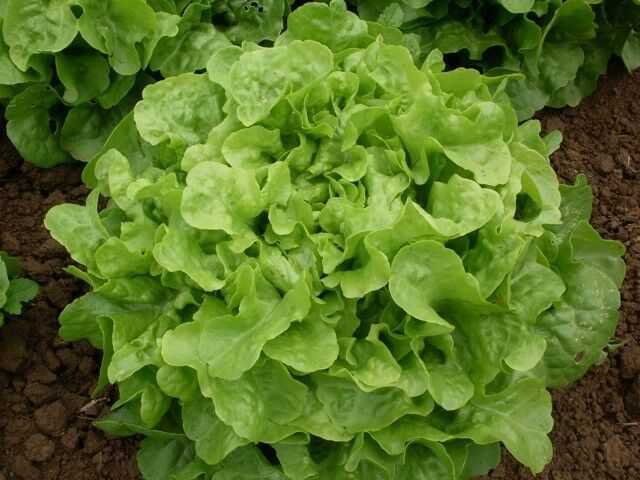 "3 (6) Live 3 - 6"" inch Seedlings GREEN Oak leaf Lettuce Loose Oakleaf Beautiful"