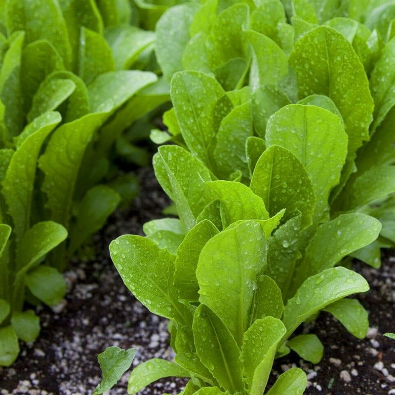 "3 (6) Live 3 - 6"" inch Seedlings Paris Island Cos Romaine Lettuce Beautiful"