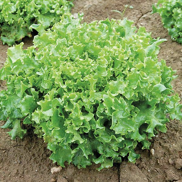 "3 (6) Live 3 - 6"" inch Seedlings Tango Lettuce Beautiful Frilliest leaves Salad"