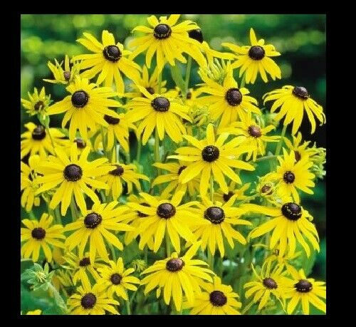 "3 (6) Live 5 - 8"" inch Seedlings Black Eyed Susan Yellow Flower Bouquet Honey"
