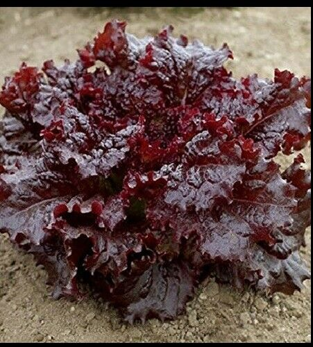 "3 (6) Live 4 - 8"" Seedlings Ruby Red Loose Leaf Lettuce Crispy Beautiful"