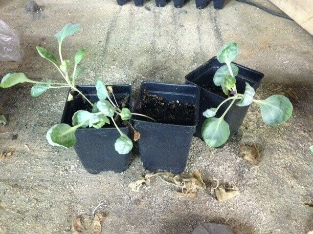 "3 Live 2 - 4"" inch Seedlings BRUSSELS Sprouts GUSTUS Hybrid Hard to find Quality"