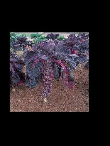"3 Live 2 - 4"" inch Seedlings Falstaf RED BRUSSELS Sprouts Keeps Color! Rare"