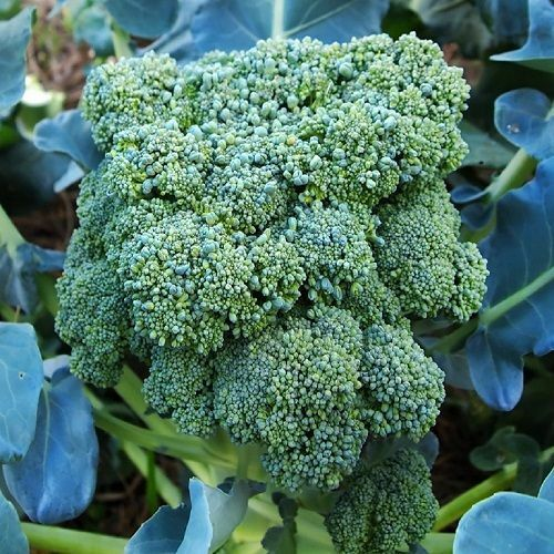 "3 Live 3 - 5"" inch Seedlings Calabrese Broccoli Delicious Healthy Heirloom"