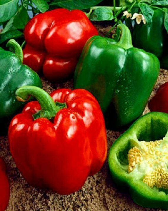 "3 Live 3 - 5"" inch Seedlings California Wonder Sweet Large Bell Pepper Red Green"