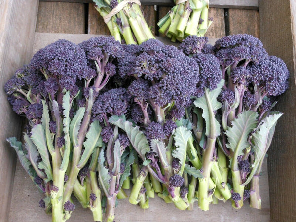 "3 Live 4 - 7"" inch Seedlings Purple Sprouting Broccoli Rare Healthy Heirloom Fun"