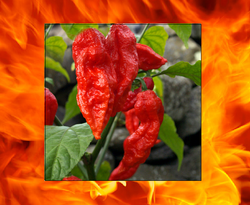 "3 Live 3 - 5"" inch Seedlings Red Ghost Pepper Bhut Jolokia Hot"