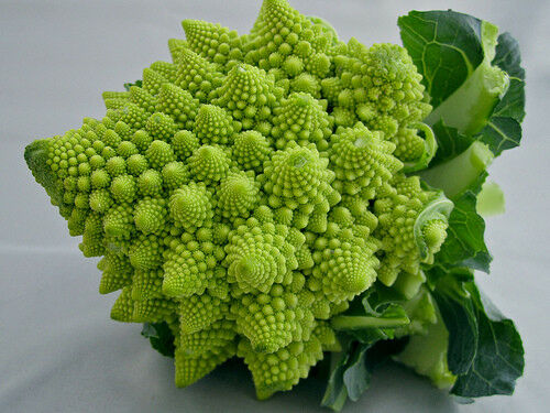 "3 Live 3 - 5"" inch Seedlings Romanesco Broccoli Rare Brocoflower Fractal Healthy"