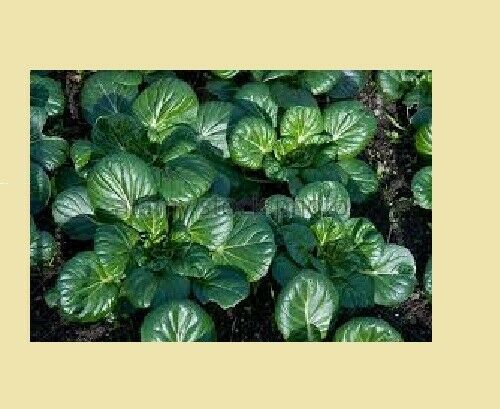 "3 Live 3 - 5"" inch Seedlings TATSOI Mustard spinach Delicious Healthy Heirloom"