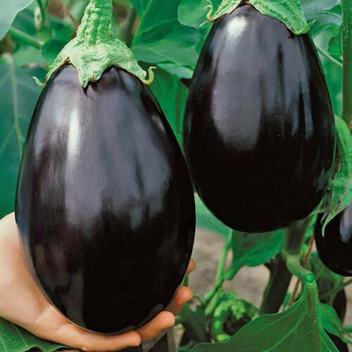 "3 Live 3 - 6"" Seedlings Black Beauty Eggplant Purple Aubergine Talong Beautiful"