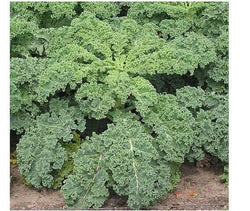 "3 Live 3 - 6"" inch Seedlings BLUE CURLED VATES KALE Delicious Healthy Scotch"
