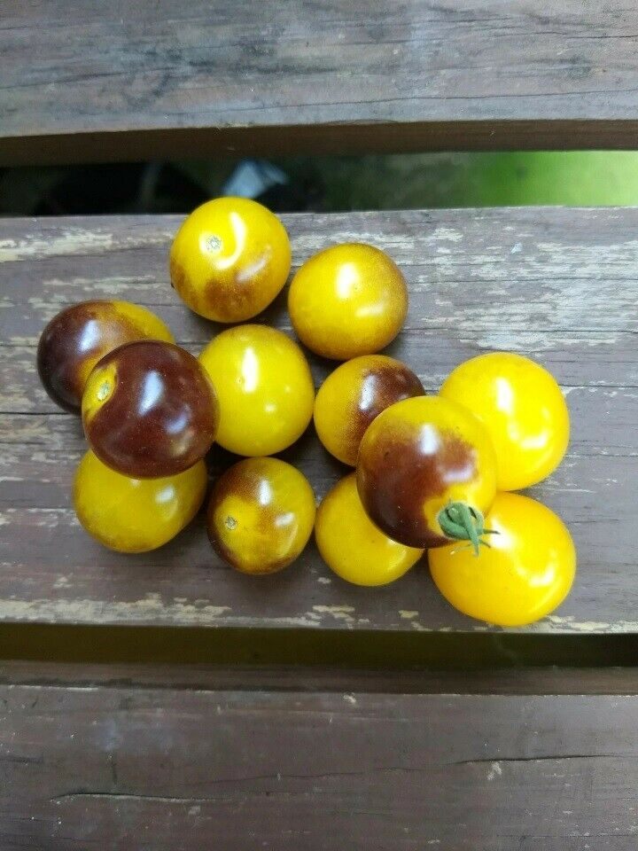 "3 Live 3 - 6"" inch Seedlings Blue Gold Berries Tomato Heirloom Super Rare Cherry"