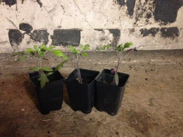 "3 Live 3 - 6"" inch Seedlings Brandywine Black Tomato Rare Beautiful Color"