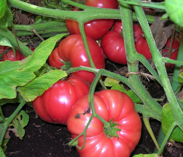 "3 Live 3 - 6"" inch Seedlings Brandywine Pink Tomato Rare Beautiful Color"