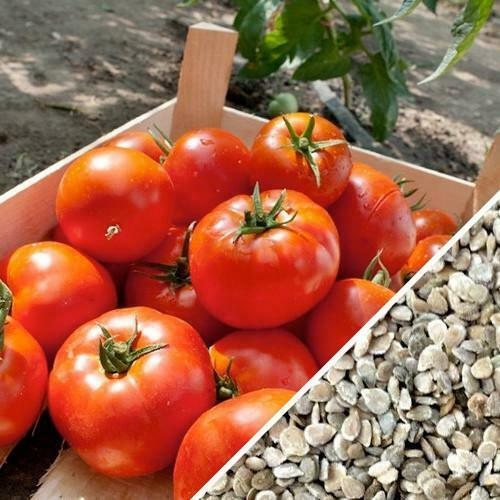 "3 Live 3 - 6"" inch Seedlings Homestead Tomato Heavy producer! Classic Slicing"