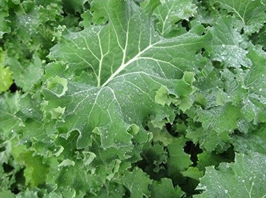"3 Live 3 - 6"" inch Seedlings IMPROVED SIBERIAN KALE Delicious Healthy Heirloom"